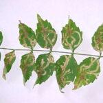 LeafMinerDamage