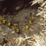 yellowjacket2
