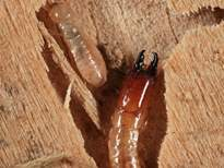 This image has an empty alt attribute; its file name is drywood-termite-soldier-and-worker.jpg